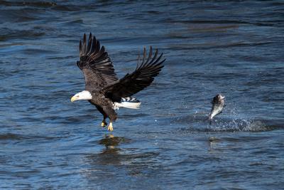 American Bald Eagle_DSC7265