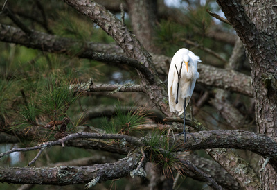 Great White Egret_DSC8657