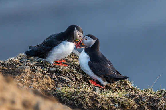 Puffins-150518_MG_1739